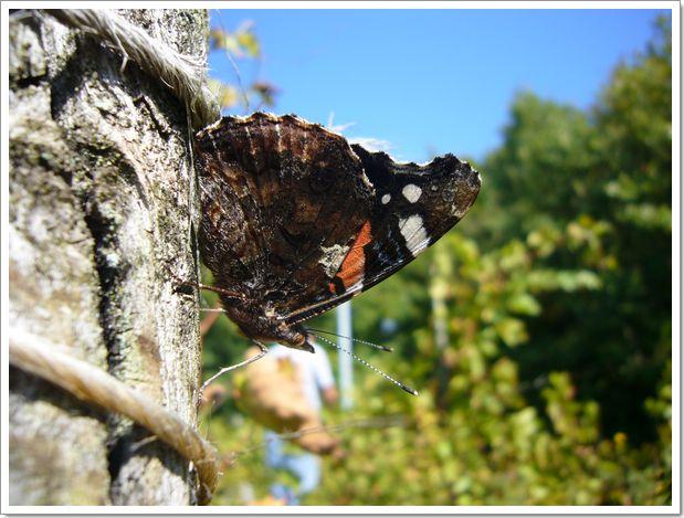Vendanges 2007 en Alsace à Menchhoffen : un papillon