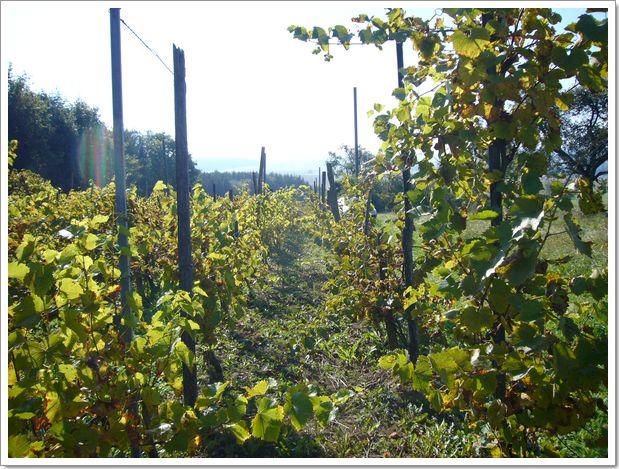 Vendanges 2007 en Alsace à Menchhoffen : les vignes