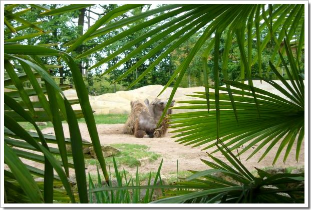 Zoo d'Amnéville : des chameaux