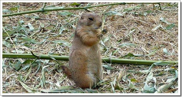 Zoo d'Amnéville : un chien de prairie