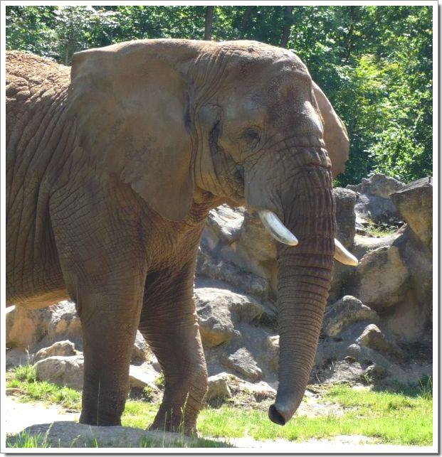 Zoo d'Amnéville : un éléphant
