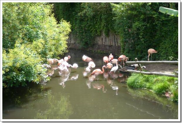 Zoo d'Amnéville : des flamands roses