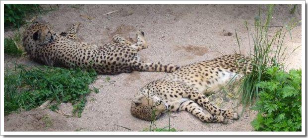 Zoo d'Amnéville : les guépards se reposent