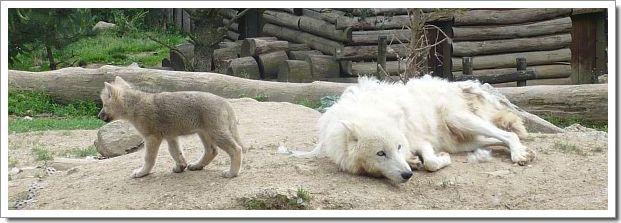 Zoo d'Amnéville : une louve et son petit