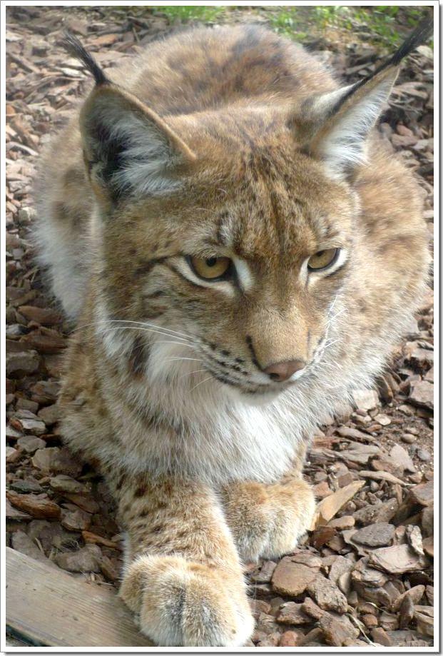Zoo d'Amnéville : un lynx qui vient d'apercevoir son repas