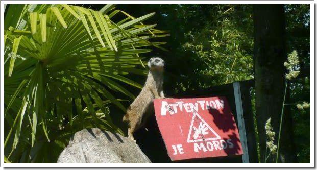 Zoo d'Amnéville : une mangouste