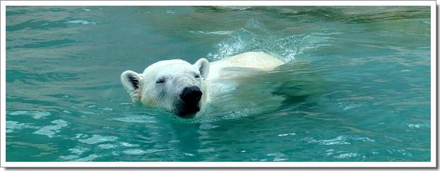 Zoo d'Amnéville : un ours polaire