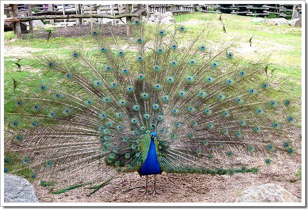 Zoo d'Amnéville : un paon