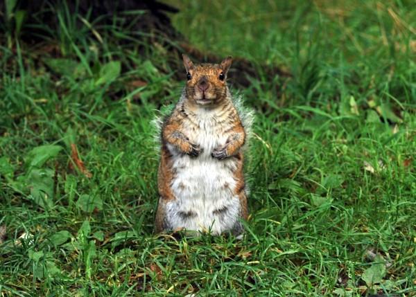 Canada : prolifération des écureuils dans les centre-villes