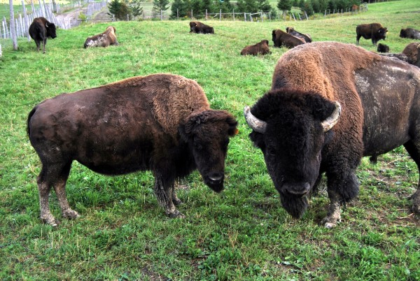 "Canada : ""bison family"""